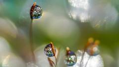 Drops - 5823 (ΨᗩSᗰIᘉᗴ HᗴᘉS +37 000 000 thx) Tags: macro glass drop droplet water nature bokeh hensyasmine namur belgium europa aaa namuroise look photo friends be wow yasminehens interest intersting eu fr greatphotographers lanamuroise tellmeastory flickering