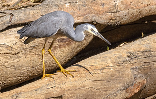heron moves - alice river - white-faced heron