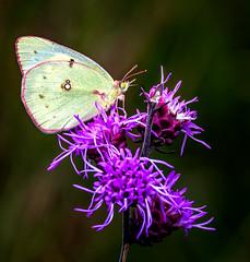 Red Line (Portraying Life, LLC) Tags: dbg6 da3004 hd14tc k1mkii michigan pentax ricoh unitedstates butterfly closecrop handheld nativelighting leonardspreserve meadow dryprairie