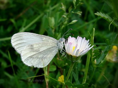 White (R_Ivanova) Tags: nature macro butterfly flower grass outdoor colors color white green plant insect sony summer rivanova риванова природа пеперуда цветя цвят цветно трева макро