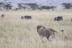 Hunting (Michael Zahra) Tags: africa tanzania safari nature wildlife mammal lion lioness cub kill meat breakfast lunch dinner super hunt hunting predator carnivore vegetarian savannah grassland conservation animal