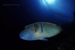 Cheilinus undulatus (Juanjo Gomez) Tags: napoleon redsea marrojo