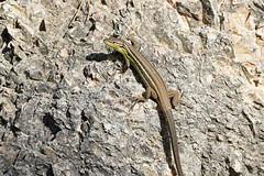 Large Psammodromus (Psammodromus algirus) (Sky and Yak) Tags: photographed near vilallonga valencia province spain large psammodromus algirus largepsammodromus reptile