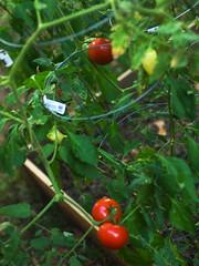 End-of-season fruits (cizauskas) Tags: vegetable fruit garden summer atlanta georgia