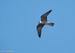 Hobby  /Lärkfalk (Falco subbuteo) (Hans Olofsson) Tags: bird fågel ottenby sweden raptors öland falco lärkfalk hobby falcosubbuteo