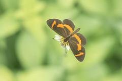 Microtia elva (fabriciodo2) Tags: microtiaelva papillon mariposa nature macro chichenitza mexique