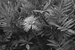 Monochromily Marigold (Modkuse) Tags: fineartphotography nopostprocessing acros xt2acros fujifilmxt2acrossimulation fujifilmxt2acros monochrome bw blackandwhite marigold fujifilm fujifilmxt2 xt2 xf35mmf2rwr fujinon fujinonxf35mmf2rwr photoart nature natural flower