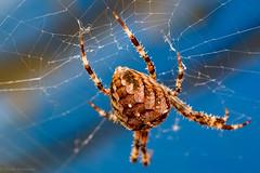 Spinne (Günter Hentschel) Tags: spinne tier insekt lebewesen deutschland germany germania alemania allemagne alsdorf september2018 september 9 2018 hentschel flickr nrw nikon nikond5500 d5500