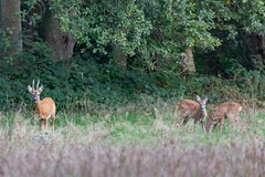 Wildlife (Peet de Rouw) Tags: drenthe dwingelderveld wildlife wild ree reebok netherlands peetderouw canonef10040014556lisus canoneos5dmarkiv nationaalpark