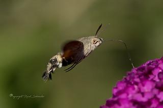 Hummingbird hawk-moth - - Kolibrivlinder