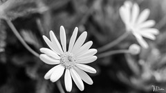 _DSC0156 (Miguelo.) Tags: andalucia digital españa flores nikon flower flor nature naturaleza nikon5100 dc5100 blancoynegro blackandwhite