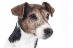 My Silver! (Marijke M2011) Tags: foxterrier boerenfox canon amsterdam dog dogportrait hond hondenportret animal pet petportrait huisdier indoor studio studiolightning