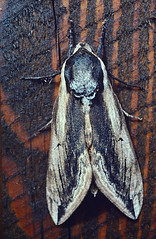 Privet Hawk Moth (Sphinx ligustri) (nedjetwave) Tags: moths hawkmoth privethawkmoth sphinxligustri insects invertebrates fauna devon southdevon horner southhams practicallc pancolor