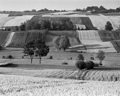 Among the texture of the fields (fotoswietokrzyskie) Tags: landscape grass monochrome field mamiya rz67 apo 350mm medium format 6x7 lines fields analog trees sky ilford delta 100 summer july tree