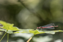 """""""Hélipad pour libellule"""" (regisfiacre) Tags: pyrrhosoma nymphula nymphe corps de feu rouge red rot libellule libellula libelle dragonfly damselfly odonate odonata insect insecte insekt bug bugs ailes wings nature sauvage wild wildlife macro macrophoto macrophotography macrophotographie canon 5div mark iv 4 plein format full frame sigma 150mm apo ex dg os hsm moselle france"""