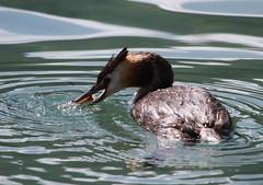 IMG_9959 (Christandl) Tags: vogel wasservogel haubentaucher fisch wasser see weissensee kärnten wildlifephotography canon