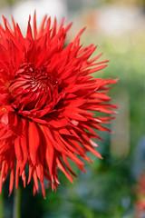 Dahlie - Bad Köstritz (birk.noack) Tags: deutschlandthüringenbadköstritzschlossparkdahliedahlienrotedahlierotedahlienblumeblumendahliagermanythuringiacastleparkdahliadahliareddahliareddahliaflowerflowers deutschland thüringen badköstritz schlosspark dahlie dahlien rotedahlie rotedahlien blume blumen dahlia germany thuringia castlepark reddahlia flower flowers