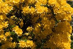 IMG_2203 (Lightcatcher66) Tags: rhododendron makros lightcatcher66