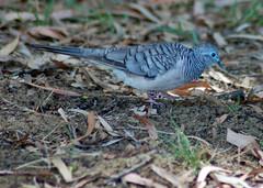 pigeons doves-06 (Captain Hadoc) Tags: bird birds australia wild wildlife farm pigeonsdoves pigeons