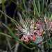 Isopogon scabriusculus