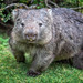Say Cheese! (RissaJT_23) Tags: wombat wilsonspromontory wilsonsprom animal australiananimals marsupial wild smile canon5dmarkiv canon70200mm wildlife