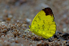 Eurema simulatrix - the Hill Grass Yellow (BugsAlive) Tags: butterfly mariposa papillon farfalla 蝴蝶 schmetterling бабочка conbướm ผีเสื้อ animal outdoor insects insect lepidoptera macro nature pieridae euremasimulatrix hillgrassyellow coliadinae wildlife doisutheppuinp chiangmai ผีเสื้อในประเทศไทย liveinsects thailand thailandbutterflies nikon105mm bugsalive ผีเสื้อเณรภูเขา