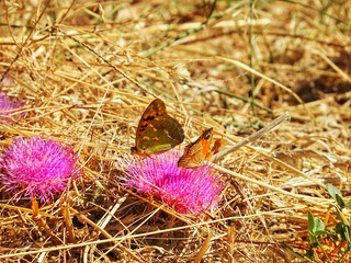 butterflies on the pink flowers
