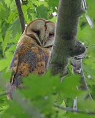 Barn Owl (Keith Carlson) Tags: barnowl owls raptors