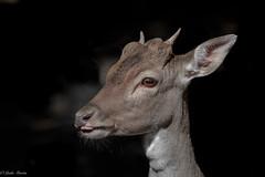 Fallow Deer (Linda Martin Photography) Tags: wildlifepark damadama fallowdeer otterpark wildlife nature tamarvalley rivertamar cornwall uk animal coth naturethroughthelens alittlebeauty specanimal ngc coth5