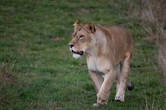 Lioness (Smarkmith) Tags: yorkshire wildlife park ywp doncaster camera club canon 6d eos tamron 150600mm 150600 g2 african lioness lion big cat