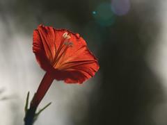 Blütenleuchten (lebastian) Tags: panasonic dmcgx8 lumix g vario 45150f4056 raynox dcr250 macro