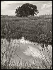 Lake Woodruff #1 2014; Live Oak (hamsiksa) Tags: florida wetlands marsh stjohnsriverbasin blackwhite liveoaks quercusvirginiana water sky reeds nature outdoors naturalhistory centralflorida volusiacounty