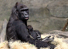 Mama Gorilla with Baby Ali (LotusMoon Photography) Tags: gorilla primate apes baby infant newborn nature zoo brookfieldzoo annasheradon lotusmoonphotography