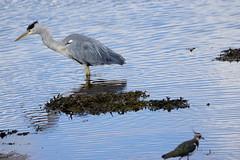 Heron fishing. (artanglerPD) Tags: heron lapwing ugie estuary reflections