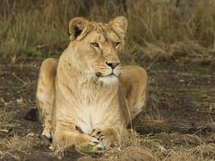 Leeuwin - Safaripark Beekse Bergen, Hilvarenbeek (mariandeneijs) Tags: leeuw leeuwin lion safaripark safariparkbeeksebergen beeksebergen hilvarenbeek