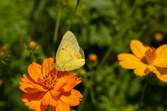 Clouded Yellow Butterfly on Klondike Cosmos (amarilloladi) Tags: exhibitiongarden macro butterfly flora flowers garden uniflona orange cloudedyellowbutterfly coliascroceus insect insects smileonsaturday cosmossulphureus klondikecosmos cosmossulphureusorange cosmos