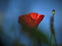 Du flou dans la clarté (armelle25) Tags: red rouge coquelicot