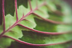 Maranta (Sarah Rausch) Tags: veins leaf plant houseplant tropical sony macromondays multicolor depth bokeh