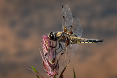 Four-spotted Chaser (Libellula quadrimaculata) (DerekL1) Tags: eardingtonnr fourspottedchaser libellulaquadrimaculata dragonfly chaser insect shropshire uk pool anisoptera nature