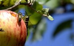 Une pomme à partager (BelSoq) Tags: fruit guêpes insectes pomme nature