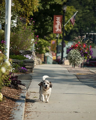 Strolling the Streets of Springfield 34/52 (Boered) Tags: darla dog walk sidewalk flowers springfield vermont 52weeksfordogs