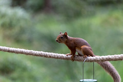 Red Squirrel (jonathan.scaife81) Tags: red squirrel bokeh blur green landmark carrbridge aviemore highand perthshire canon 6d tamron 28300mm tamron28300 28300 scotland