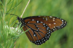 Queen butterfly in the Butterfly Garden, Tucson Botanical Gardens (Distraction Limited) Tags: tucsonbotanicalgardens tucsonbotanical botanicalgardens gardens tucson arizona tbg20180822 queenbutterfly danausgilippus danaus butterflies insects butterflygarden explore