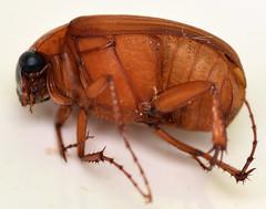 8.5 mm may beetle (ophis) Tags: coleoptera polyphaga scarabaeoidea scarabaeidae melolonthinae sericini nipponoserica nipponosericaperegrina maybeetle
