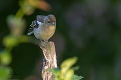 Pinson des arbres (sfrancois73) Tags: oiseau faune abreuvoir jardin