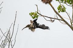 4-08-8507851 (fix.68) Tags: autourdespalombes chasse cormoran oiseau