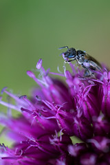 I am a princess ! (Carandoom) Tags: i am princess 2018 macro close up photo insect colorful color sony alpha7 a7 flower