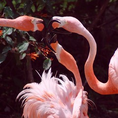 Necking (PelicanPete) Tags: flamingo neck necks necking group dance movement action bird zoomiami miamiflorida unitedstates usa letsneck neckdance nature beauty natural aviancapture square phoenicopterusruber pink americanflamingo trio