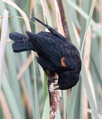 Red-winged Blackbird I (dennis_plank_nature_photography) Tags: avianphotography ridgefieldnwr birdphotography naturephotography ridgefield wa avian birds nature