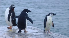 Pygoscelis papua, Pygoscelis adeliae and Pygoscelis antarcticus (Rémi Bigonneau) Tags: pygoscelisantarcticus pygoscelisadeliae pygoscelispapua manchotpapour manchot manchotadélie manchotàjugulaire chinstrappenguin adéliepenguin gentoopenguin antarctica antartique penguins nature wildlife animal birds